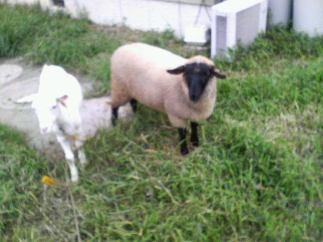 山羊と羊に守られて…
